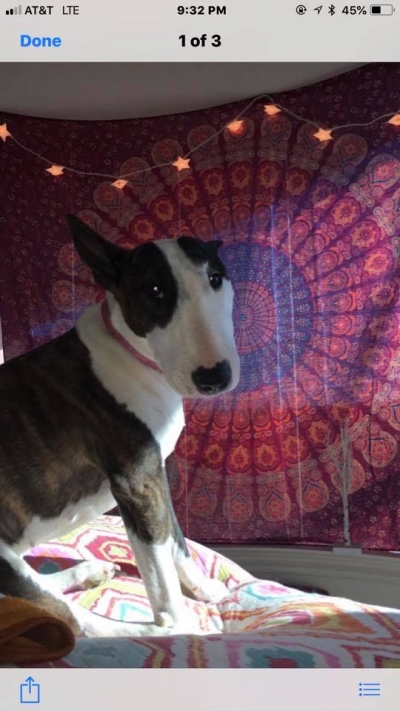 BULL TERRIER Female  Adult  Dog #ABBY832520180726#  - click here to view larger pic