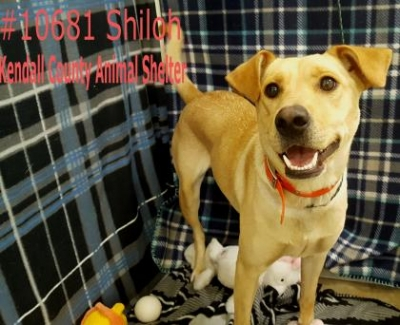 Mix-Bred LABRADOR RETRIEVER Female  Adult  Dog #Adoptable483920160919#  - click here to view larger pic