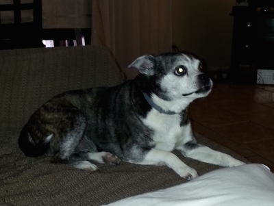 Mix-Bred RAT TERRIER Female  Older  Dog #Annie589320170203#  - click here to view larger pic