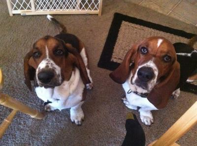 BASSET HOUND Male  Adult  Dog #Beauandcopper258720160710#  - click here to view larger pic