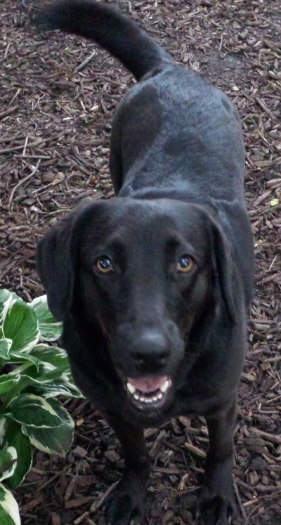 Mix-Bred LABRADOR RETRIEVER Female  Adult  Dog #Bella762520160720#  - click here to view larger pic