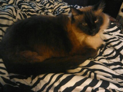 SIAMESE Male  Adult  Cat #Blue735220161028#  - click here to view larger pic