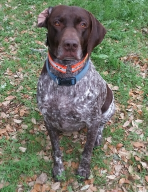 GERMAN SHORTHAIRED POINTER Male  Dog #FOUND945320170327_2#  - click here to view larger pic