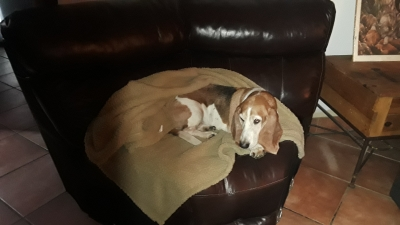 BASSET HOUND Female  Adult  Dog #LOLA286920180215#  - click here to view larger pic