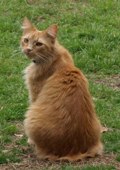 Mix-Bred MANX Cat #Max325220161031#  - click here to view larger pic
