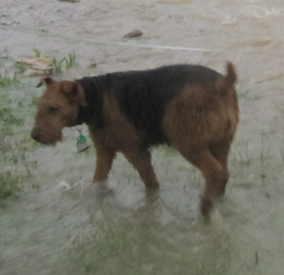 AIREDALE TERRIER Female  Older  Dog #Millie696620180318#  - click here to view larger pic