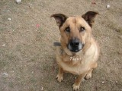Mix-Bred LABRADOR RETRIEVER Male  Older  Dog #RUFUS424220141212#  - click here to view larger pic
