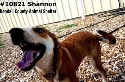 Mix-Bred AUSTRALIAN CATTLE DOG Young  Puppy #shannon253320161026#  - click here to view larger pic